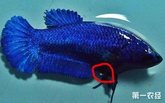 泰国斗鱼怎么分公母图片