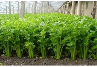 芹菜怎么种?芹菜什么时候种植好?芹菜种植时