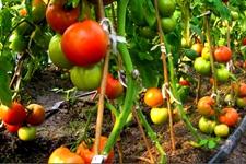 如何种植有机蔬菜?有机蔬菜种植技术,有机蔬菜种植方法