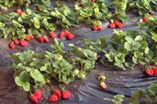 有机果菜病虫害及其防治方法