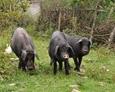 <b>为什么黑猪肉比白猪肉好吃? 黑猪肉与白猪肉的区别</b>