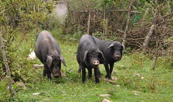 """,甚至不养家禽,没有农家肥,光靠化肥催长的农作物其品质是不高的,一些养殖场现在用含有高铁高锌高铜的饲料,其粪便都是有毒的,放到田地会使泥土板结,造成土地严重污染,种出的一些所谓""""绿色环保""""作物其实是不绿色环保的。   回原农牧公司把种植业和养殖业捆绑在一起,用好的粪肥来种植作物,用好的食粮来饲养黑猪,形成一条良性的链条,真正达到绿色环保作用。   这两年,回原公司基于中国本地的名优品种,经过自己的努力,已培育出贵妃猪、汉吉猪等多款肉质鲜美、营养丰富的优质肉黑猪,黑猪肉已全面进入南宁"""