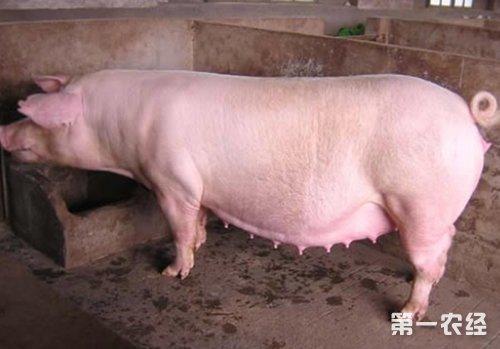 养母猪技术大全 母猪养殖10大技巧