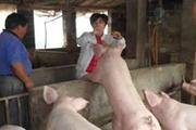 弃老板不做当猪倌  唐慧娟19载书写养猪致富经