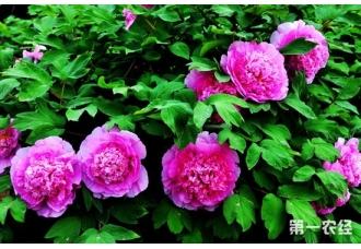 中国国花是什么花?