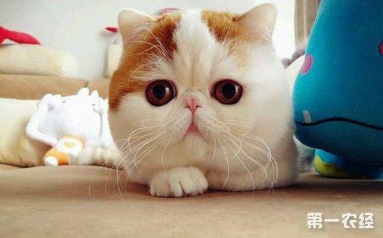 【小编总结】      加菲猫叫异国短毛猫,是一种外表可爱的猫咪