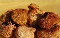 黑龙江鹤岗市特产:东北猴头蘑
