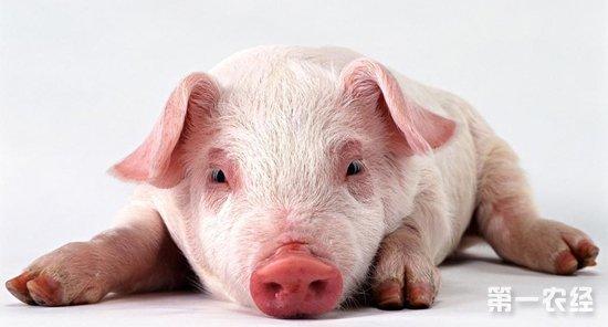 猪寄生虫病怎么治 猪寄生虫病用药配方图片