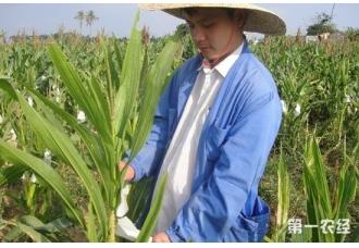 玉米单倍体育种技术