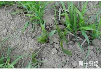 小麦为什么要冬前除草?