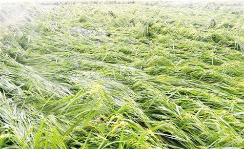 受台风影响,海南陵水财政部出资免费帮农户抢收水稻