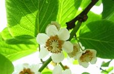 猕猴桃树怎么分公母?猕猴桃花雌雄怎么区别?