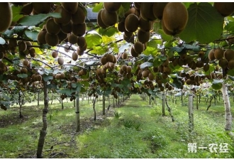 猕猴桃的产地主要分布在哪?哪里是中国猕猴桃