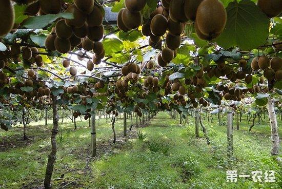猕猴桃的产地主要分布在哪?哪里是中国猕猴桃之乡?