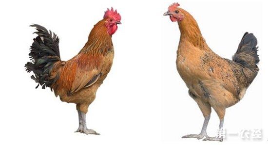 琅琊公鸡VS琅琊母鸡