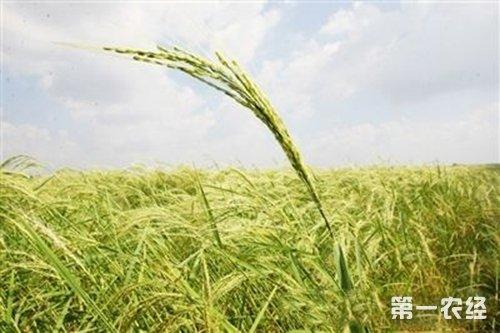 由野生水稻28年培育而成的海水稻
