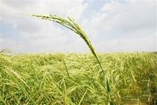 海水稻:耐盐碱高产水稻 袁隆平的新梦想