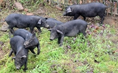 <b>湘村黑猪怎么养?  全国五大生猪品牌之一</b>