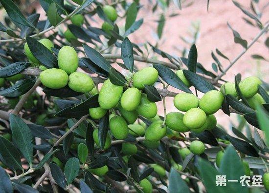 金秋十月是瓜果飘香的季节,近期武都区白龙江沿岸的橄榄飘香,迎来了采摘季,挂满枝头的油橄榄无不显示着丰收的硕果,果农也嘴角也挂满微笑忙着采摘油橄榄。   外纳镇稻畦村自1999年开始种植油橄榄,历经十多年的发展,到目前总共发展油橄榄600亩,挂果的有400多亩。这几天全村群众都在忙着采摘橄榄果。该村油橄榄种植大户茹兴山告诉笔者:稻畦村得天独厚的自然环境非常适宜生长油橄榄,群众发展油橄榄的积极也很高,这不,果农们守候了一年的果树就要见效益了,大家伙们都非常高兴。   而在汉王镇朱能村,村支书桑代林正忙着