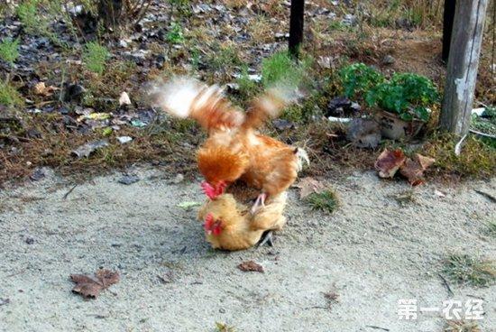 母鸡下蛋需要公鸡吗?公鸡和母鸡交配