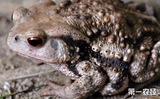 蟾蜍和青蛙有什么区别