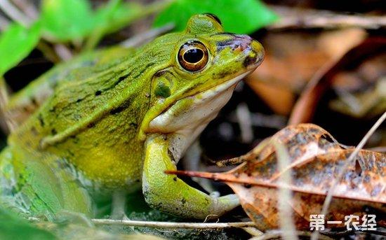蟾蜍有毒吗 蟾蜍和青蛙有什么区别