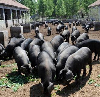濒临灭绝的徒河骇猪的身世惊人!