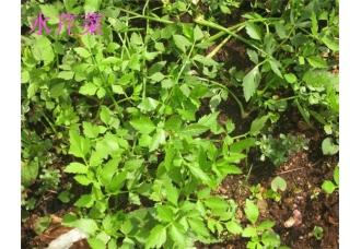 水芹菜和毒芹的区别,芹菜和野芹菜的区别