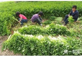 芹菜产地:芹菜的原产地和主产地是哪里?