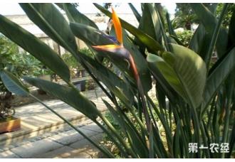 鹤望兰长到多高开始开花?