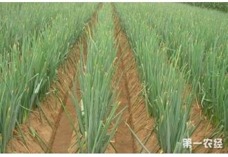 大葱什么时候播种?南方能种植大葱吗?