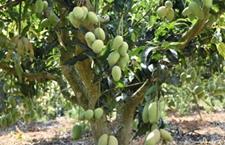 芒果树种植几年结果?芒果树能活多久?芒果树