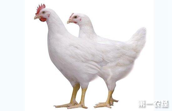 小型优质白羽肉鸡WOD168