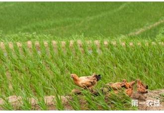 金龙鱼雪粳稻是什么米?金龙鱼雪粳稻是转基因