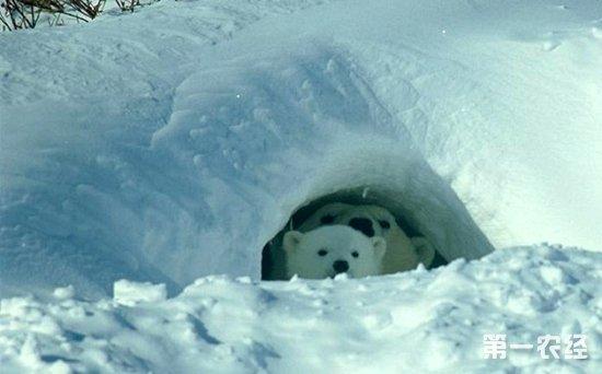 北极熊冬眠吗?冬眠的动物都有哪些?