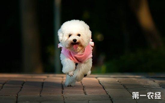刚出生的贵宾犬怎么养?成年贵宾犬怎么养?