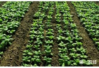 冬季菠菜怎么种?冬季菠菜栽培技术要点