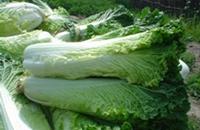 天津特产:青麻叶大白菜