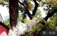 湖北孝昌县发现一树龄逾200年的古榛子树 古树名木等级划分