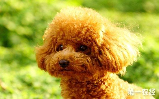 小型犬品种之泰迪