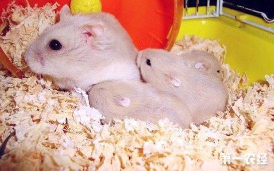 【小编总结】      仓鼠可爱便宜好养,是很多养殖新手的首选