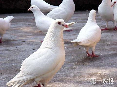 市 90后青年农村养鸽子 放飞致富梦图片