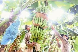 香蕉树果实一年成熟几次?香蕉成熟时怎么采割
