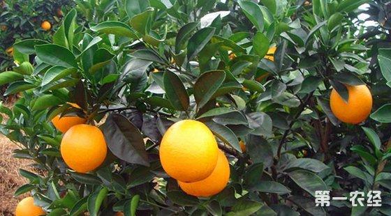 江西赣州:脐橙从种植业发展成产业集群