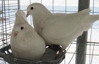 上海嘉定特产:嘉定肉鸽