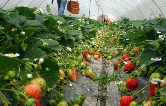 新疆阿克苏市:温室大棚里的草莓熟了