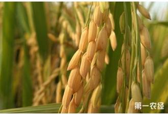 水稻亩产量怎么算?不同品种的水稻亩产是多少