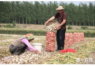 金乡大蒜亩产量一般是多少?大蒜有哪些优良品