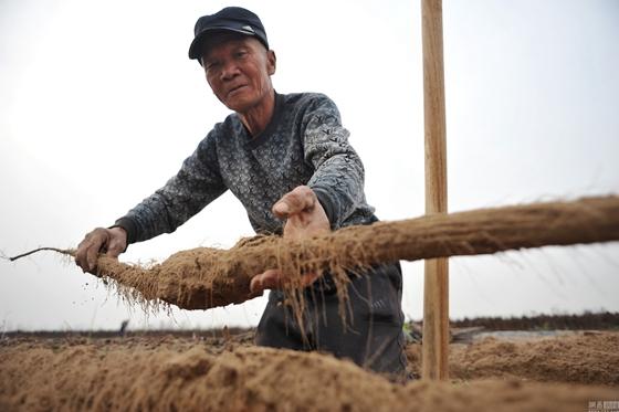 山西永济市:铁棍山药成熟季 农民一天挖900根