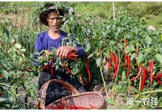 辣椒种植:辣椒成熟了怎么采摘阴晾?